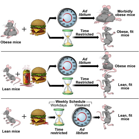 Die Effekte intermittierenden Fastens auf Labormäuse
